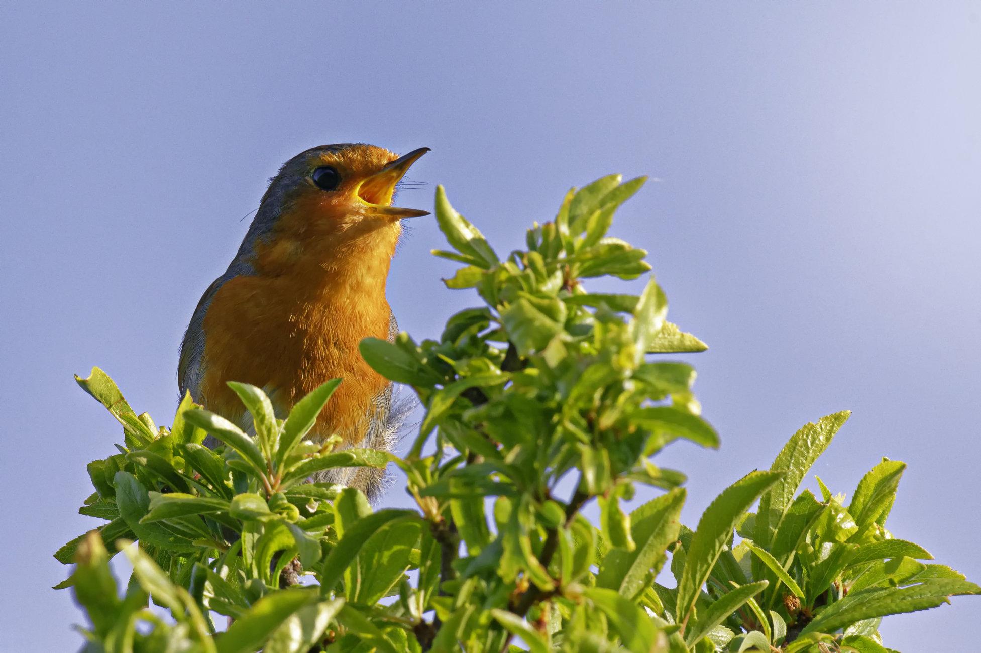 Robin in full song.