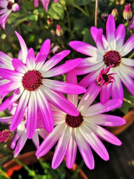 # Daisy by davyskid