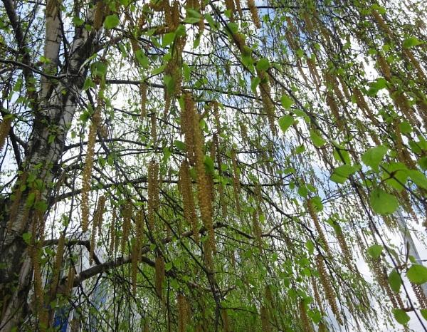 Birch curtain by Kabrielle