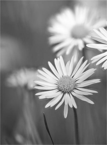 Daisy daisy by smartPhotography