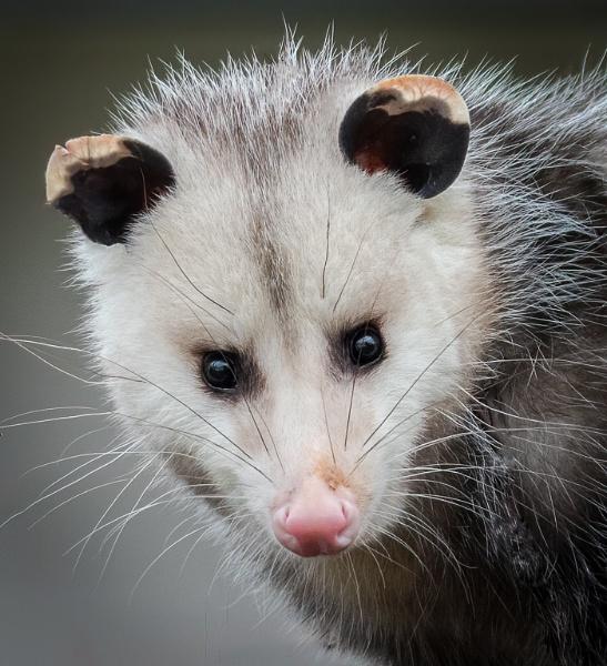 Opossum Portrait by HoiPolloi