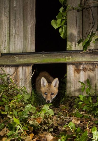 Fox Cub by tomjcawdron