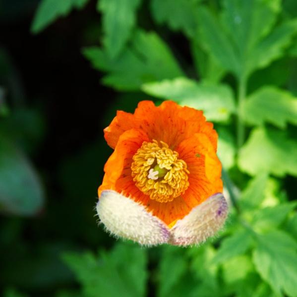 Bearded flower emerging by Grumby