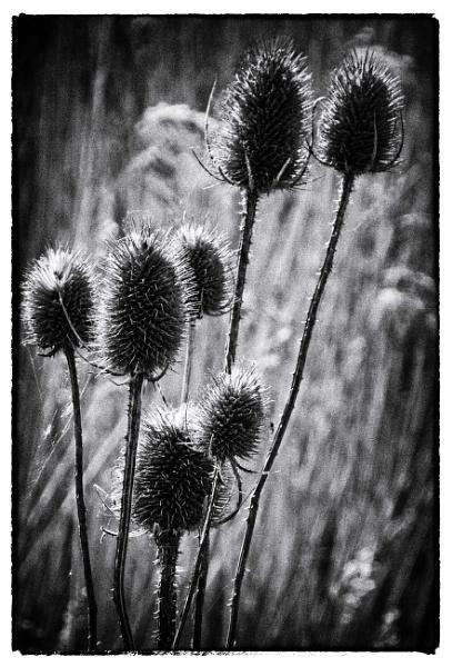 Spiky Nature in sharp contrast by jonlonbla