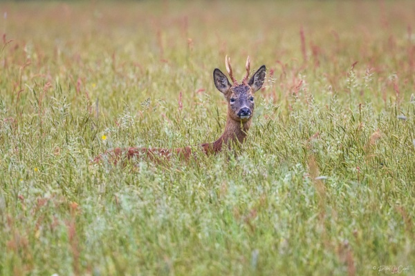 Roe buck by PLCimagery