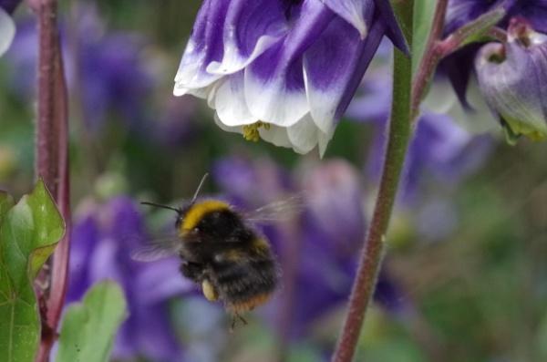 Heavily Laden Bee by Kako