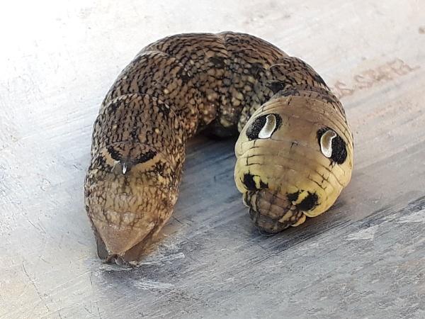 Elephant Hawk Moth Caterpillar by Squirrel