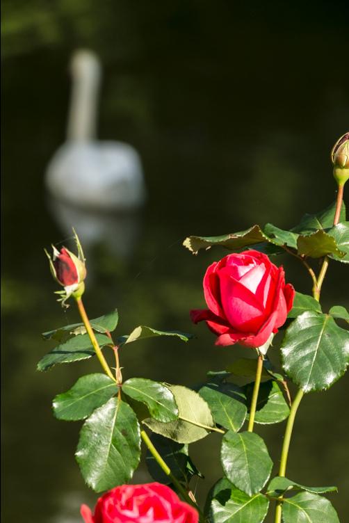 Rose and Swan