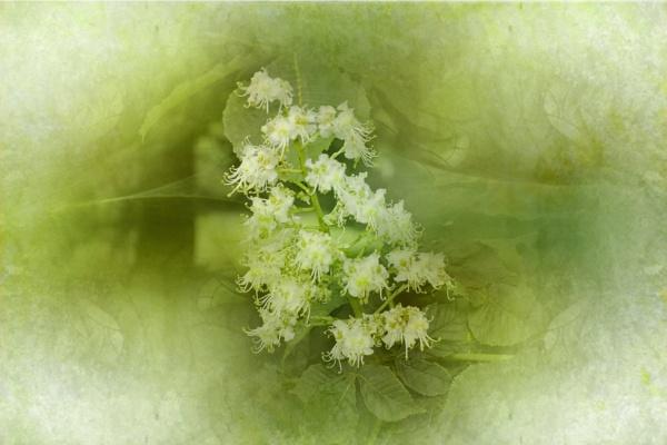 Horse chestnut flowers by helenlinda