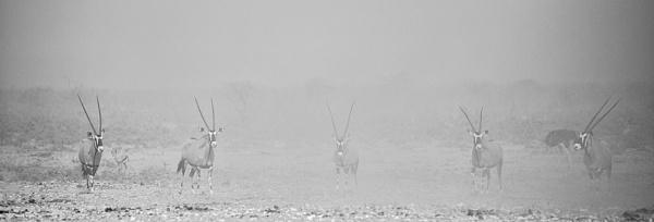 Gemsbok in Sandstorm by rontear