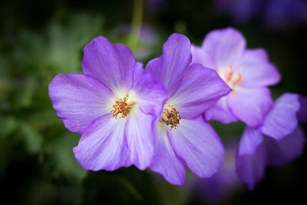 Abutilon × suntense by JackAllTog