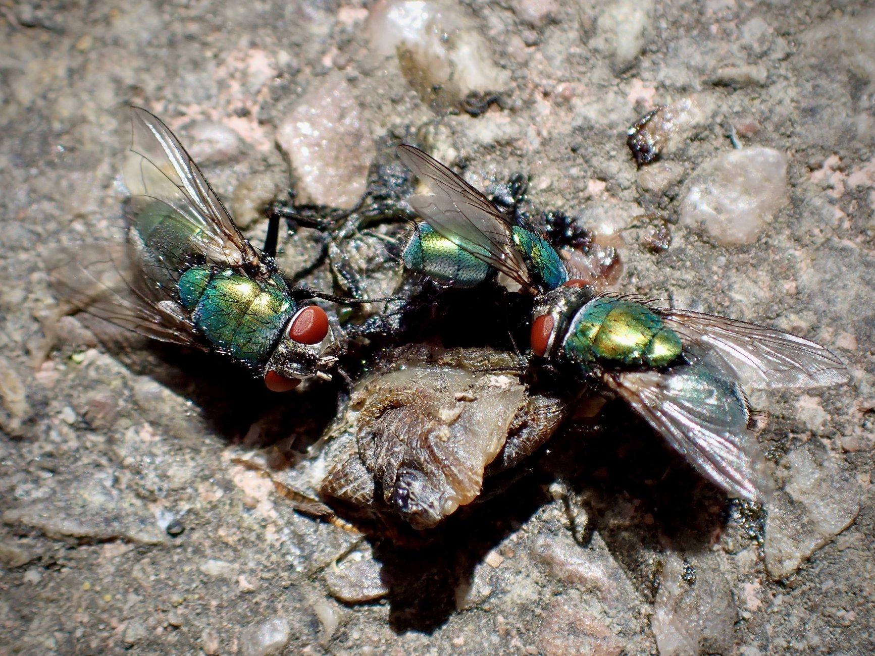 Green Bottle Fly Feast