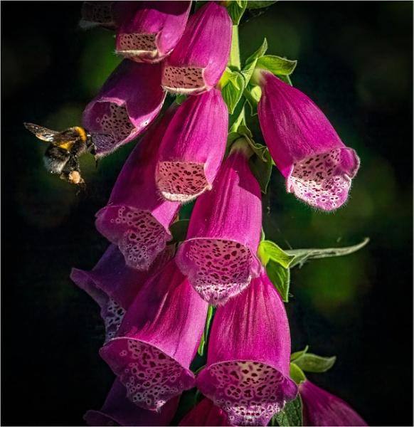 Foxgloves by mjparmy
