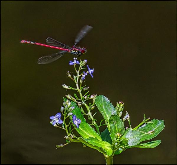 Damsel fly landing by mjparmy