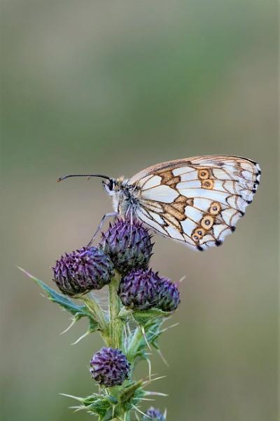 Marbled White (Melanargia galathea) by Ray_Seagrove