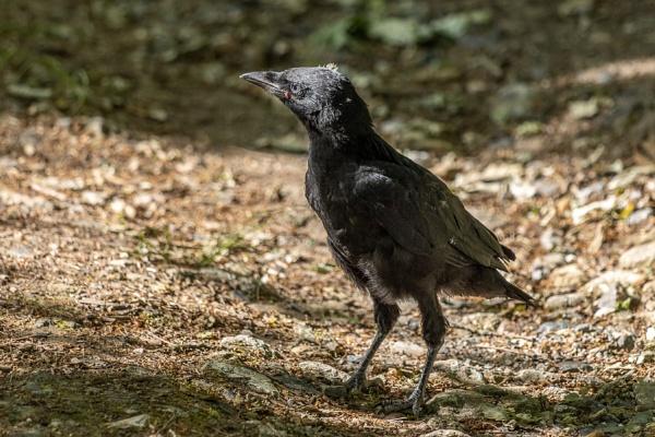 Newly fledged Jackdaw (Corvus monedula) walking along the ground by Phil_Bird