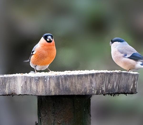 Bullfinch by bobbyl