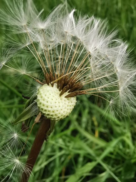 Another dandelion by wisk