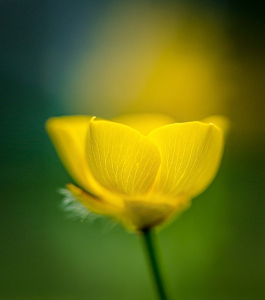 Buttercup by chavender