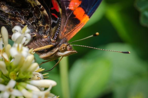 Red admiral close up by chavender