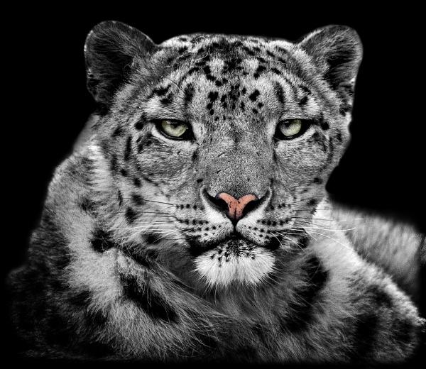Snow Leopard by Steinmachine