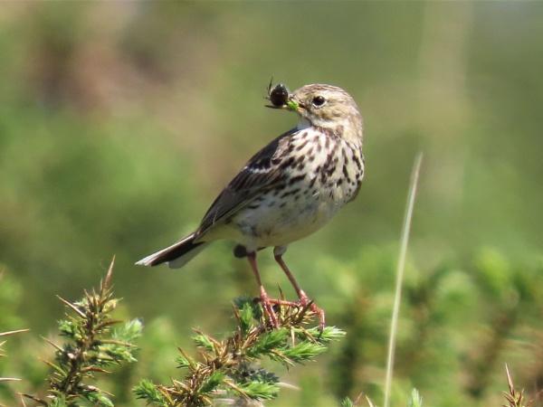 Dartmoor Song Thrush by JanOByrne