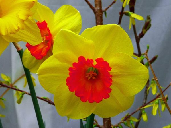 A Vibrant Daffodil by gconant