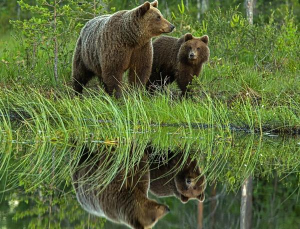 Brown bear & cub next to pond by hibbz