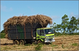 Sugar cane ...