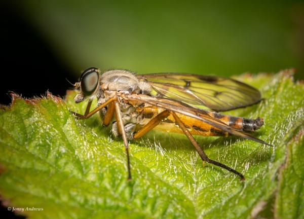 Snipefly by JonnyNI