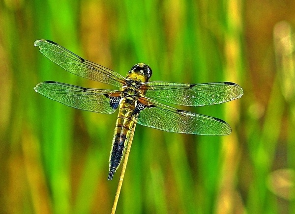 A four spotted chaser. by georgiepoolie