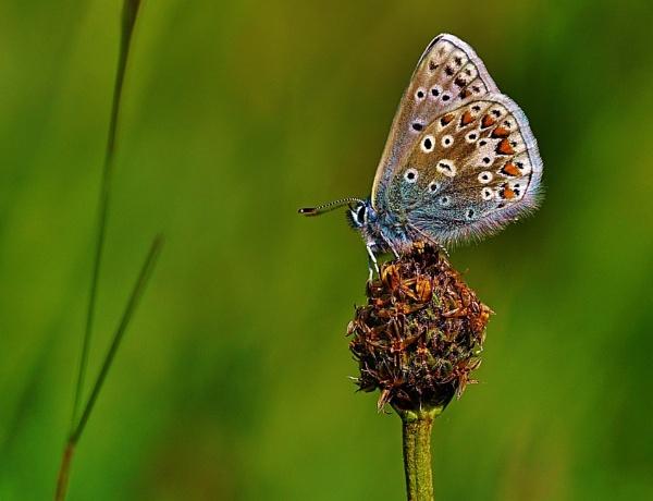Female common blue. by georgiepoolie