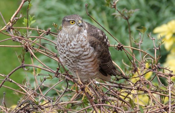 Sparrow Hawk by donmcooke