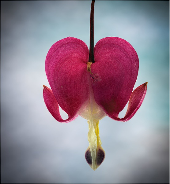 Bleeding Heart by capto