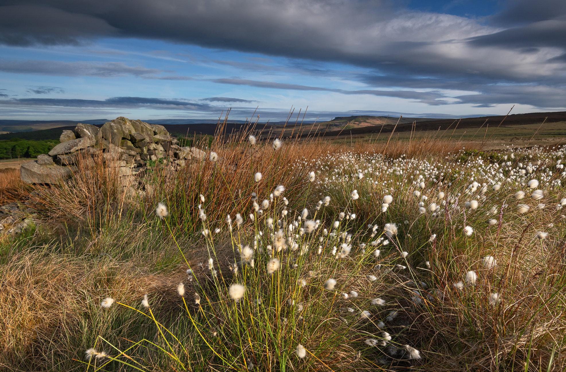 Cotton Grass Bloom