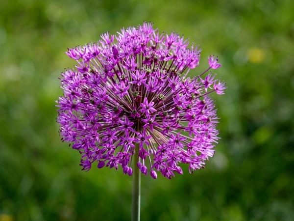Allium by Nikonuser1