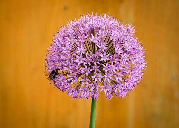Bee on the Allium by Nikonuser1