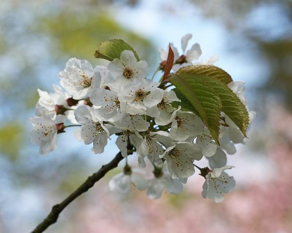 Blossom  by boov