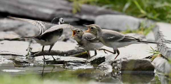 Hungry Baby Wagtails by AlexAppleby