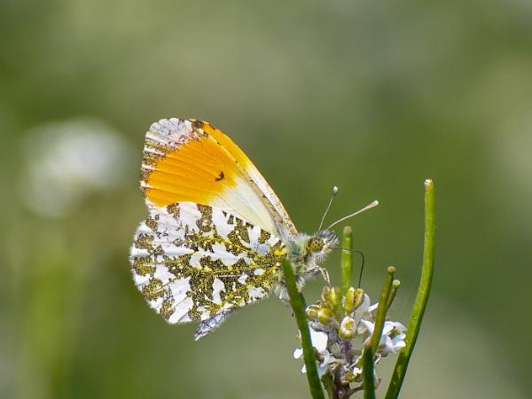 Male Orange Tip by Agglestone