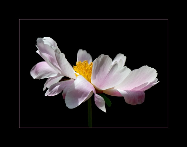 Peony by taggart