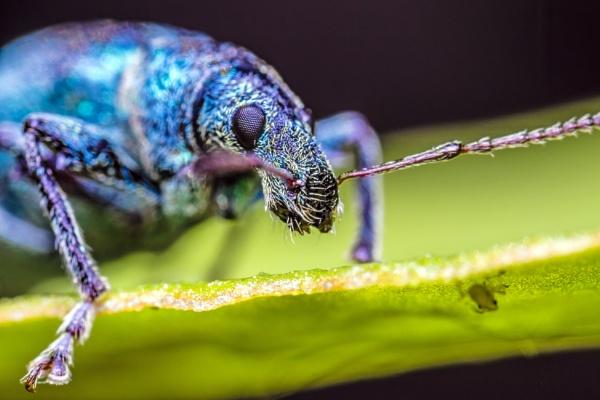 Blue Weevil snout by aldasack1957