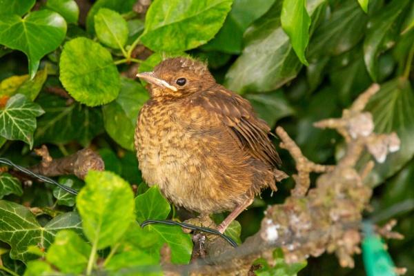 Fledgling Blackbird by Bill_C