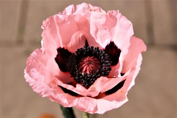 Poppy by olmeister6