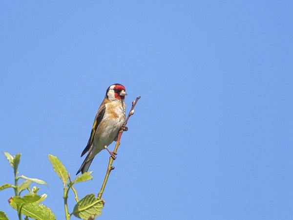 Goldfinch by DaveRyder