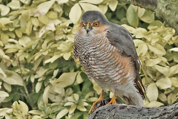 Sparrow Hawk--Accipiter nisus. by bobpaige1