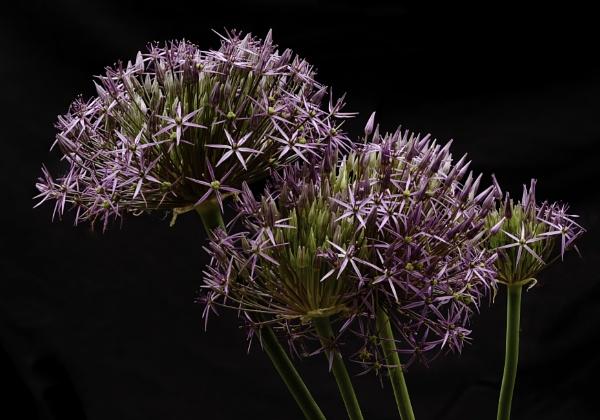 Allium by pathrover