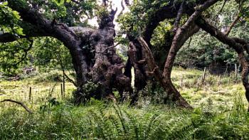 The Ancient Cadzow Oaks of Chatelherault.