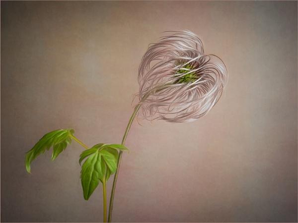 Clematis Seed Head by Leedslass1