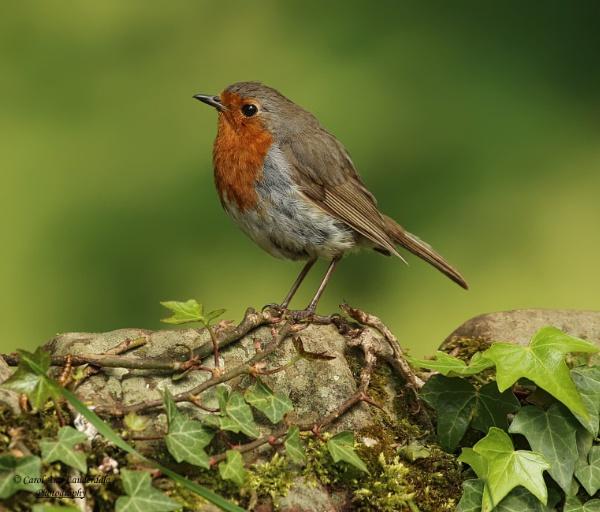 Robin by canoncarol